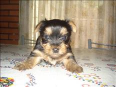 Hermoso Cachorrito Yorkshire Mini Mini Excelente $ 6000