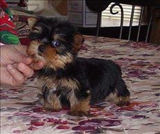 Cachorros Yorkie Terrier en adopción