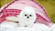 Two Pomeranian Puppies for good homes