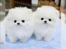 Pomeranian puppies for your home