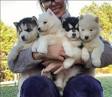 hermosos cachorros de husky disponibles para adopción.