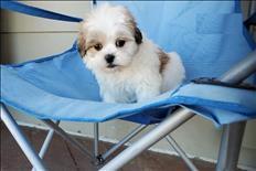 Cachorros malteses listos para un hogar amoroso