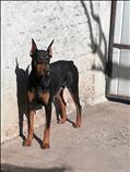 Cachorros Dobermann en venta