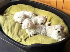 Cachorros malteses preciosos