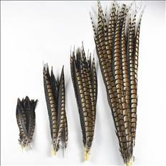 plumas de cola de faisán