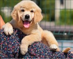 Regalo  Disponible cachorros Golden Retriever