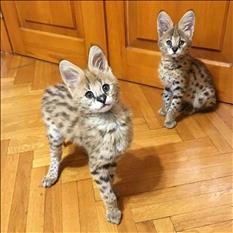 Impresionante F1 Savannah Kittens para la venta