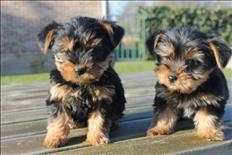 Teacup Yorkie Puppy Available Now