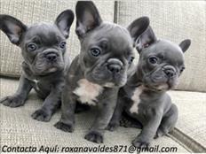 Cachorros de Bulldog Francés disponibles