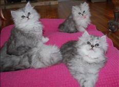 Gatito persa, vacunado
