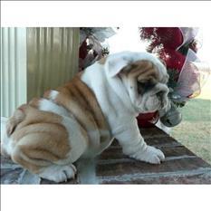 Bulldog Inglés enérgico,,WhatsApp +48 531 311 675