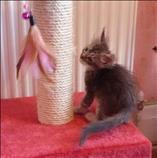 Hermosos gatitos de Maine Coon listos ahora