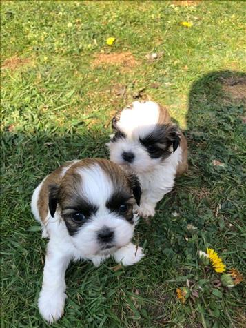 Shih Tzu Cachorros Para Adopción