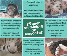 MiniPigs Mascota