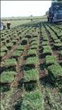 Venta de pasto kenia