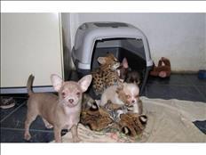 Serval y Savannah, gatitos caracal y ocelote disponibles