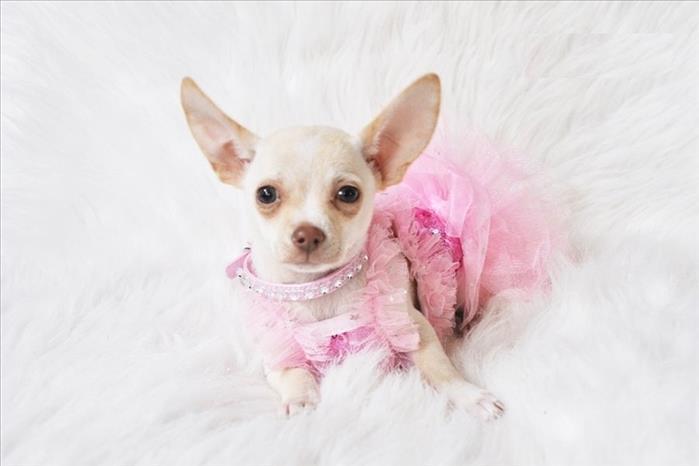 Lindos Cachorros Chihuahua Listos Para Ti