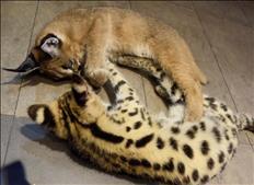Serval, Caracal & Sabana y gatitos en venta