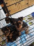 Dulces cachorros yorkie para re-homing