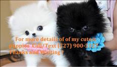 Absolutely  Cute Pomeranian Puppies Available