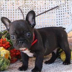 Listo Hombre Y Mujer cachorros de bulldog francés