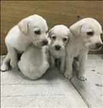 Se venden cachorros Labradores
