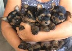 Cachorros  Yorkie Terrier  para