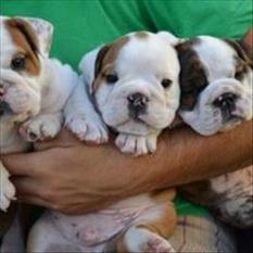 listo hombre y mujer inglés bulldog cachorros