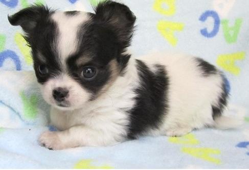 Regalo Cachorros Chihuahuas