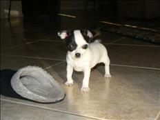 Hermosos cachorros de chihuhuas para adopción,