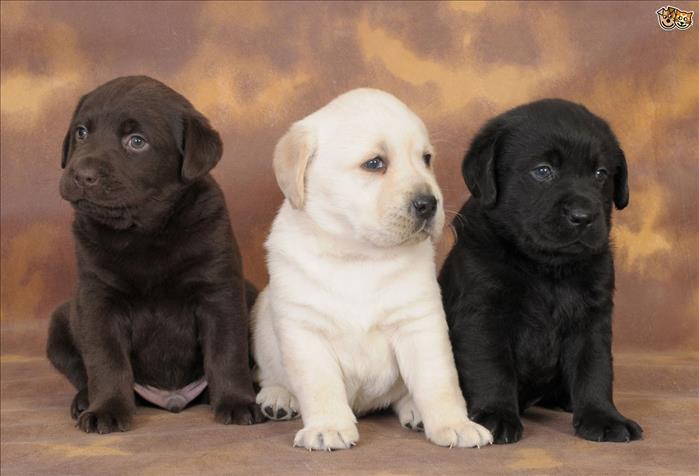 Regalo Cachorros Labrador Preciosos