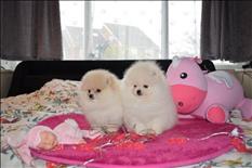 Cachorros de Pomerania para tu hogar
