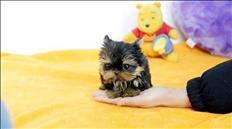 regalo cachorros yorkie en adopcion