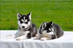 Hermosos Cachorros de Husky Siberianos