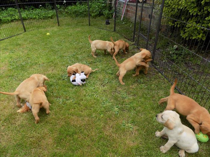 Adorable Cachorros De Labrador De 14 Semanas Para Adopción