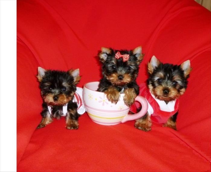 Hermosos Cachorros De Yorkshire Terrier