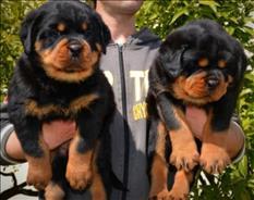 Regalo hermosos cachorros rottweiler