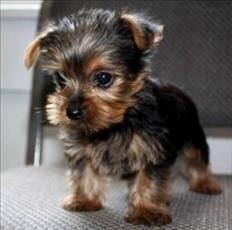 Adorables y muy tiernos cachorros Yorkie T-cup disponibles
