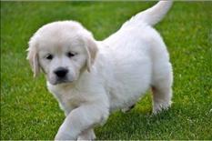 Hermosos cachorros de Golden Retriever