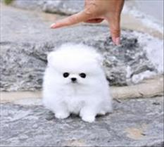 Male and female pomeranian puppies for a home
