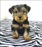 preciosos cachorros yorkie disponibles