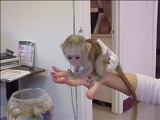 Monos capuchinos bien entrenados*