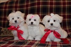 San Valentín Cachorros Maltes Para su Adopción