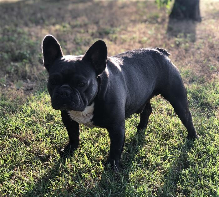 FRENCH BULLDOG STUD FOR SALE