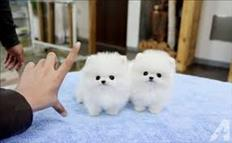 Two  Female and Male Lovely Pomeranian puppies for your home