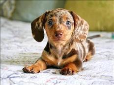 miniature dachshund blue boy 1 piebald boy