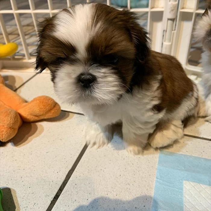 Shih Tzu Puppies Ready And Available For Re-Homing.