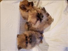Puppies Fluffy  poms