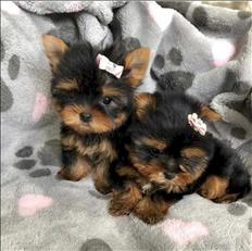 Gorgeous Tiny Yorkie Puppies For Adoption