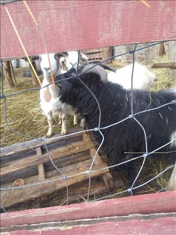 3 Family Friendly Goats